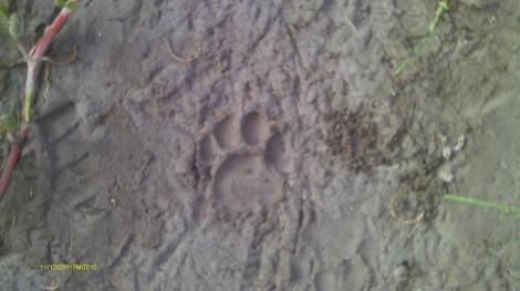 Bob Cat Track in Everglades National Park - Coastal Prairie Trail
